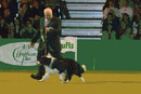 BEST OF BREED - Rosehurst Dirty Den in the big ring at Crufts