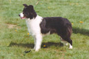 SH.CH. Rosehurst No NZ Is Good News - Eukanuba Top Border Collie Puppy 2000